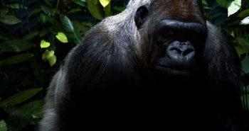 silverback-gorilla-wallpaper-4